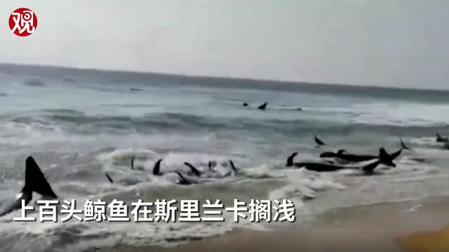 上百头鲸鱼在斯里兰卡搁浅